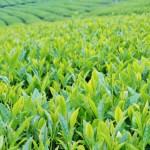 緑茶で健康 カテキンパワー(健康・美容・予防・摂取方法・目安摂取量)