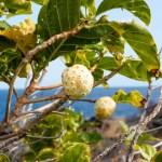 150種類を超える栄養素をもつスーパーフルーツ ノニ(ヤエヤマアオキ)を紹介します