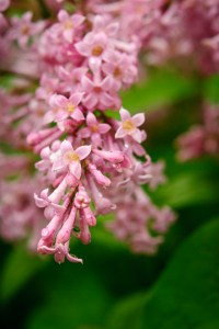 Lilac flower picture photography