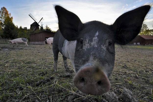 Los cerdos asumieron el liderazgo en la granja. Foto: photo credit: RdeUppsala Of course I can hear you! (In explore) via photopin (license)