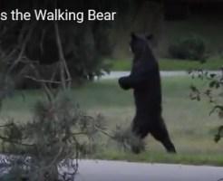 二足歩行する熊が射殺される