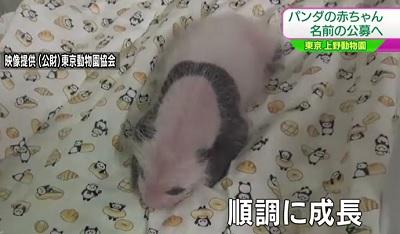 野動物園の赤ちゃんパンダ順調に成長