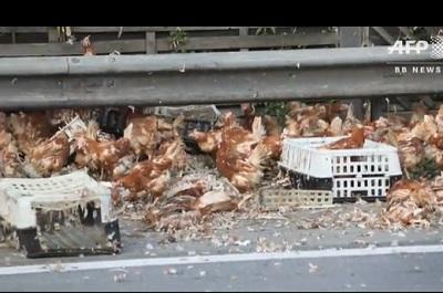 高速道路に鶏
