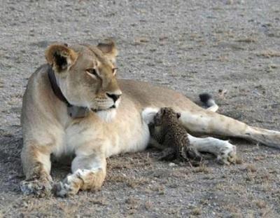 ヒョーの子供に授乳するライオン