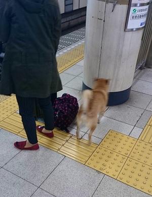 駅構内に入ってきた柴犬