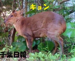 千葉県でキュンが大繁殖