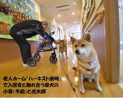 老人ホーム「ハーネスト唐崎」で入居者と触れ合う柴犬の小春(手前)と虎太郎