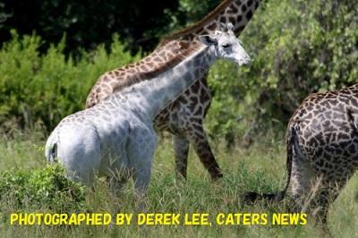 白いキリンのオモ。このほど、タンザニアのタランギレ国立公園で群れの一員として暮らしているのが確認された。(PHOTOGRAPHED BY DEREK LEE, CATERS NEWS)