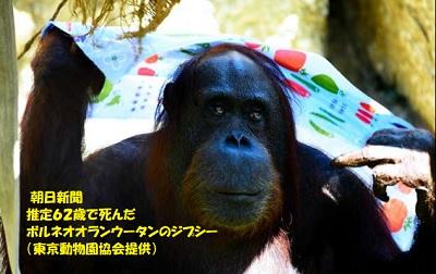 朝日新聞 推定62歳で死んだボルネオオランウータンのジプシー(東京動物園協会提供)