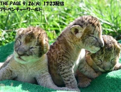 アドベンチャーワールドで生まれたライオンの赤ちゃん
