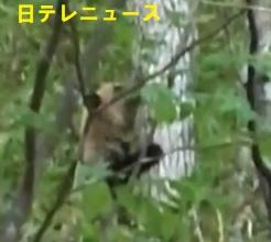 パンダのようなヒグマその2