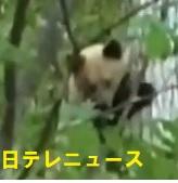 パンダのようなヒグマ