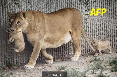 デンマークの動物園、キリンに続き親子ライオン4頭を殺処分