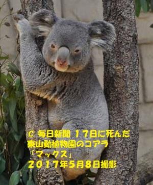 東山動物園のコアラ「マックス」