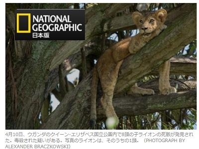 ライオン11頭が謎の死、報復のため毒殺かうち8頭が子ども、増える人間と野生動物の衝突、ウガンダ