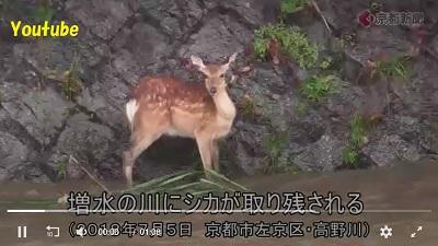 濁流取り残されたシカ京都
