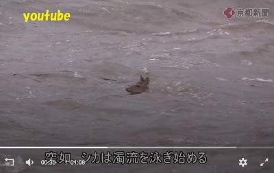 取り残されたシカ突然泳ぎだす
