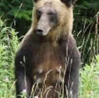 道路で左右確認するクマ