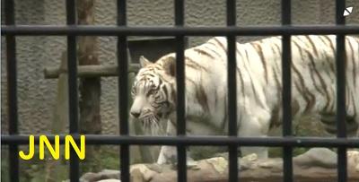 鹿児島市の平川動物公園ホワイトタイガー