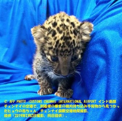 ヒョウの赤ちゃん