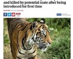 スマトラトラの雄、繁殖相手の雌を攻撃し死なせる