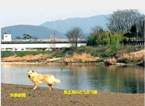 © 京都新聞社 上野橋付近で、記者も取材中に野犬に遭遇した(3月29日夕方、京都市西京区)