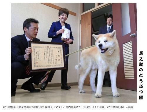 秋田犬のマメ