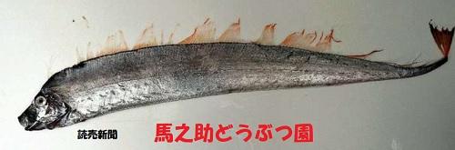 捕獲が地震の前触れという言い伝えの珍魚捕獲