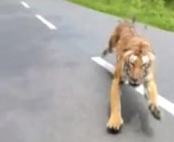 トラに追い詰められた男性