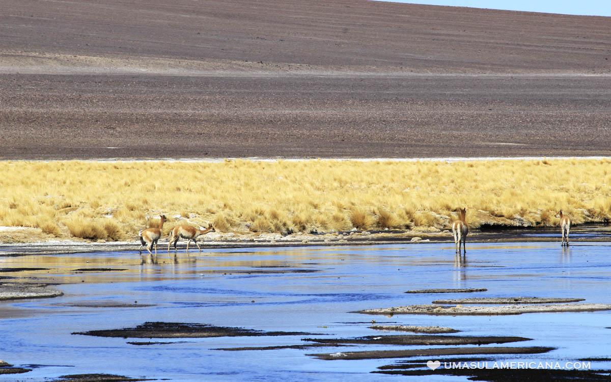 Vicuñas, animal andino no Atacama, Laguna de Tara, no Salar de Tara