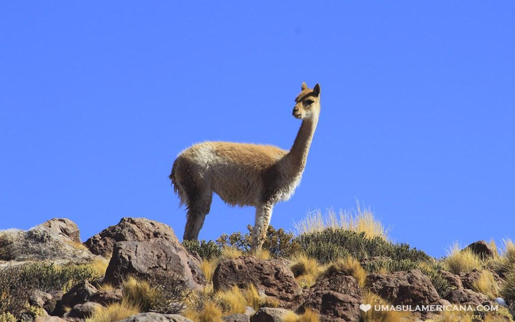 Vicuña, animal andino no Deserto do Atacama