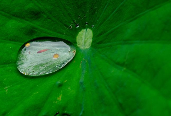 Water drop on lily pad