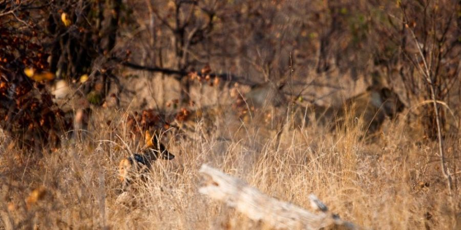 Southafrica - Jackal and Lions - Freistilchaot