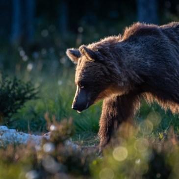 Björnfrossa?