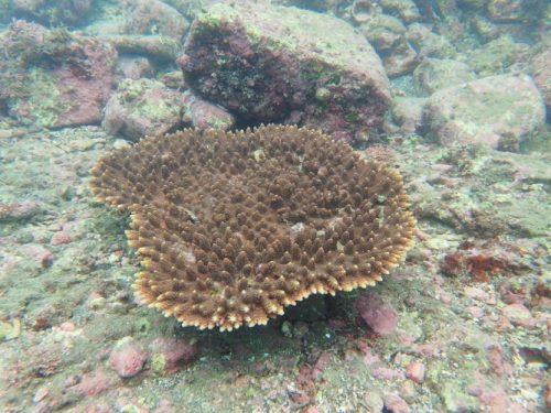 沖ノ島のサンゴ