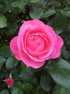 granny rose