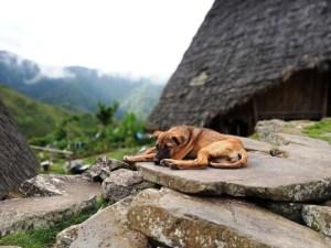 A sleeping dog in Wae Rrbo