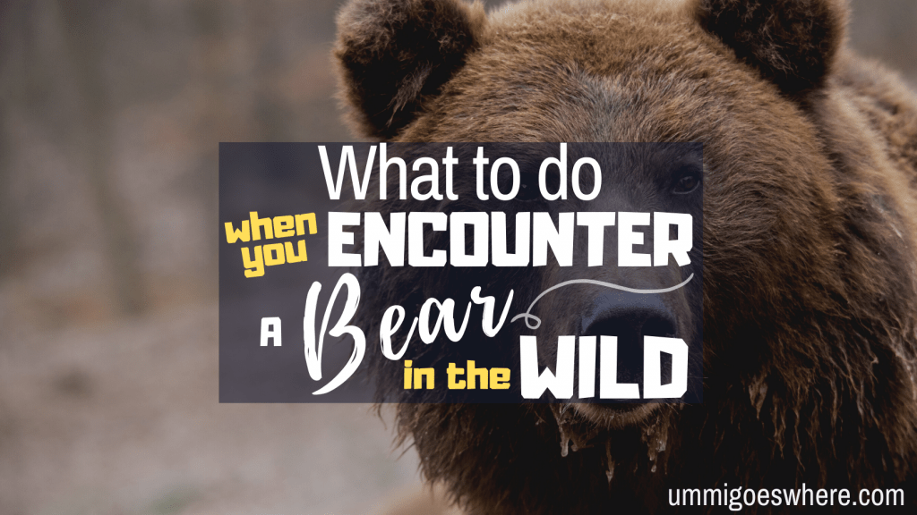 What to Do When You Encounter A Bear in the Wild | Ummi Goes Where?