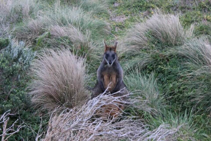 Wallaby on the Great Ocean Road