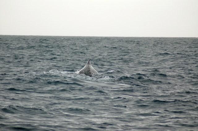 O Cachalote se prepara para o mergulho