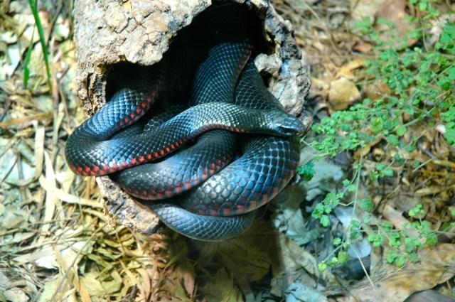 Serpente Australiana