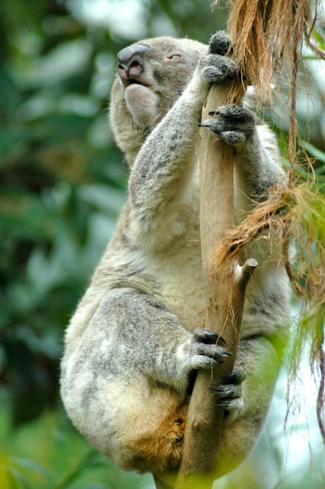 Coala - Um dos símbolos da Austrália