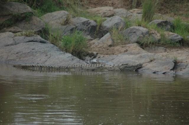 O crocodilo aguarda a preza na beira do Rio Mara