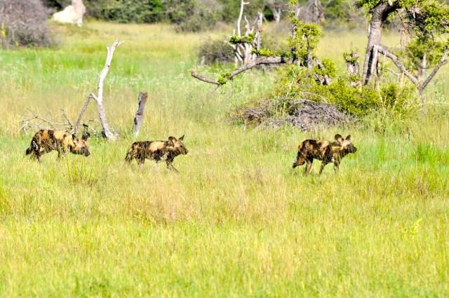 Os Cães Selvagens avançavam de forma intimidadora.
