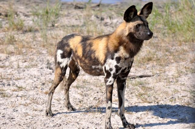 Um belo exemplar de Cão Selvagem.