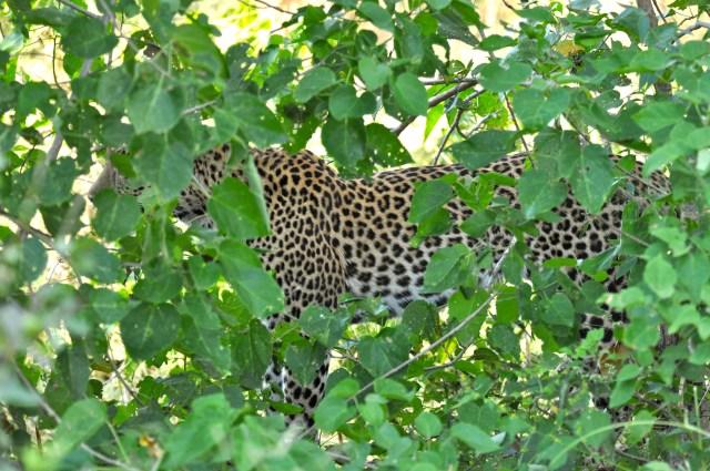 O Leopardo camuflado
