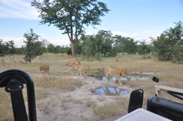 Os leões se aproximavam de forma intimidadora