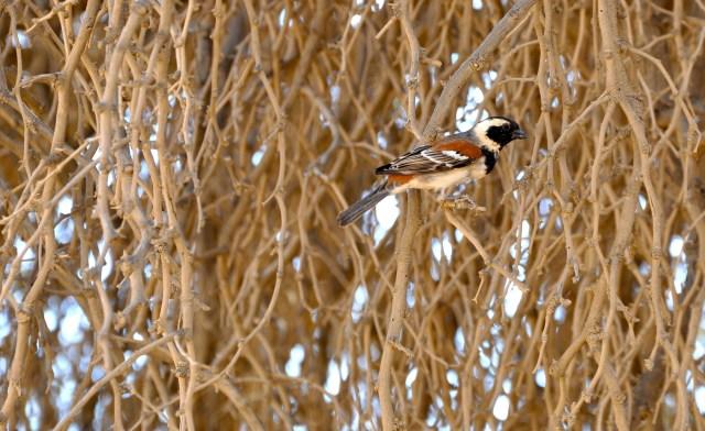 O Pássaro Tecelão - Weaver Bird