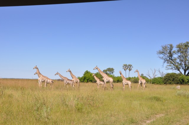 Girafas em Duma Tau