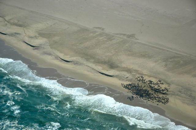 Um grande número de focas descansam na beira do mar.